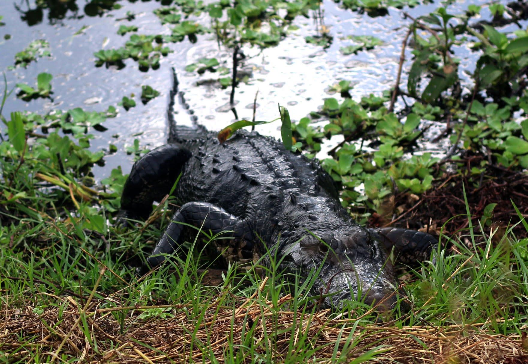 Alligator at Circle B Reserve