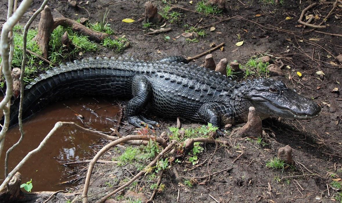 Alligator at Gatorland Florida sunbathing